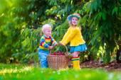 Barnen plocka körsbär frukt på en gård — Stockfoto