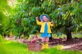 Little girl picking fresh cherry on a farm — Stock Photo