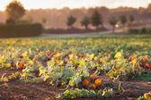 Pumpkin field in autumn — Stock Photo