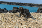 Iguana in the Galapagos — Stock Photo