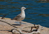 Proud young seagull — Stock fotografie