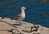 Proud young seagull — Foto de Stock
