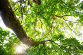The warm spring sun shining through the treetop of an impressive old beech tree — Stock Photo