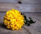 Flowers. Beautiful yellow chrysanthemum in vintage pottery vase. Old wooden background — Stok fotoğraf
