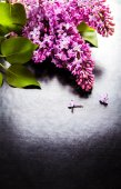 The beautiful lilac on a black background — Stock Photo