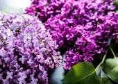 La bellissima lilla su sfondo nero — Foto Stock