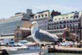 Gaviota en la Plaza del mercado de Helsinki — Foto de Stock