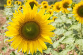 Zoomed of Sunflowers — Stock Photo