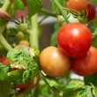 Ripe tomatoes on the vine. — Stock Photo #57996985