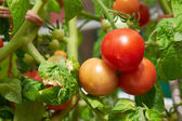 Ripe tomatoes on the vine. — Stock Photo