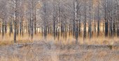 The burnt remains of a pine forest — Stock Photo