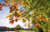 Sycamore leaves starting to turn red — Stock Photo