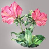 Pink petunia — Stock Photo