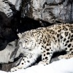 Beautiful Snow leopard — Stock Photo #63563739