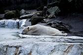 Ice bear in the zoo — Stock Photo