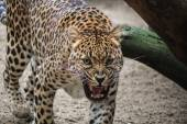This leopard doesn't like photocameras — Foto Stock