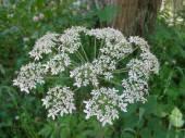 White Ligusticum scoticum flower — Stock Photo