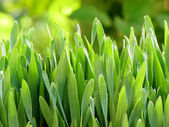 Young grass — Stock Photo