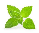 Menta foglie isolata — Foto Stock