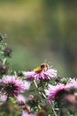 Purple flowers and bee — Stock Photo