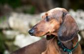 Red dachshund dog — Stock Photo