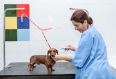 Woman in red dachshund canine hairdresser — Stock Photo