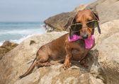 Dachshund dog with sunglasses at sea — Stock Photo