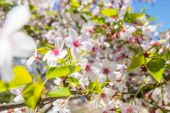 Spring Sakura, Cherry Blossom — Stock Photo