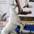 Show White Horse Moscow Ridding Hall International Horse Exhibition — Stock Photo #56620069
