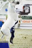 White Horse Moscow Ridding Hall International Horse Exhibition — Stock Photo