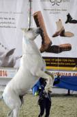 Show White Horse Moscow Ridding Hall International Horse Exhibition — Stock Photo