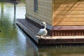 White swan sitting — Stock Photo