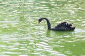 Black swan floats — Stock Photo