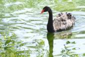 Black swan  Sunny day — Stock Photo