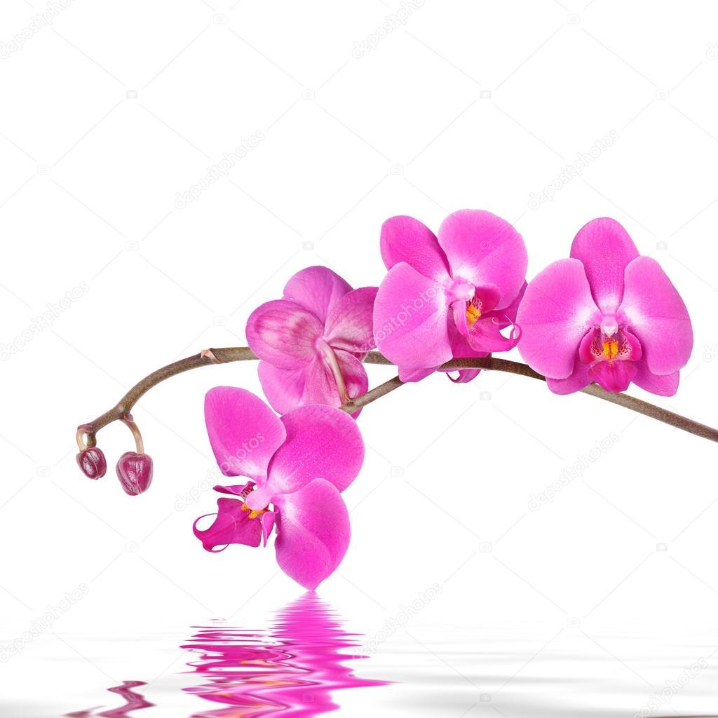 Fondo floral Rosa orquídeas flores aisladas sobre un fondo blanco con reflejos en la superficie del agua ondulada\u2014 Foto de skylinefree