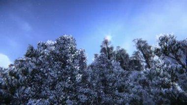 Pine trees in snow — Stock Video