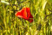 Poppy flower in the grain field — Stock Photo