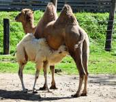 Young camel is suckling — Stock Photo