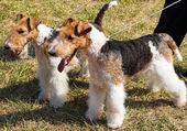 Fox terrier dogs — Stock Photo