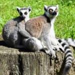Ring tailed lemur couple — Stock Photo #68958805