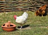 Hens in the poultry yard — Stock Photo