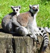Ring tailed lemur couple — Stock Photo