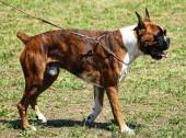 Cane boxer — Foto Stock