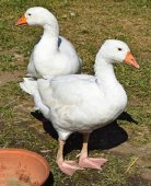 Geese in the poultry yard — Stock Photo