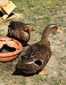 Ducks in the poultry yard — Stock Photo