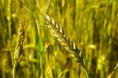 Cereal plants — Stock Photo