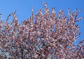 Flowering tree in spring time — Stock Photo