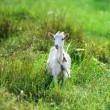 The goat is grazed on a green meadow — Zdjęcie stockowe #60131437
