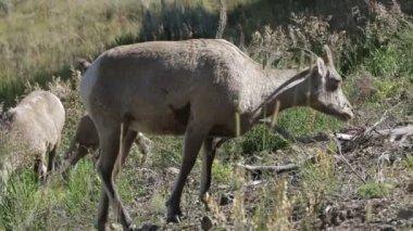 Horn sheep eating — Stock Video