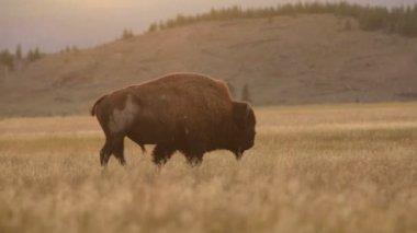 Buffalo walking  in a field — Stock Video